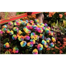 20 Seeds Bag of China Rare Rainbow Rose